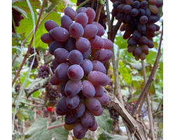 郁金香茉莉香新鲜葡萄3斤现摘薄皮无籽香甜口当季时令新鲜水果