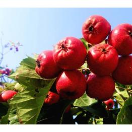 特级大山楂水果现摘现发山里山楂