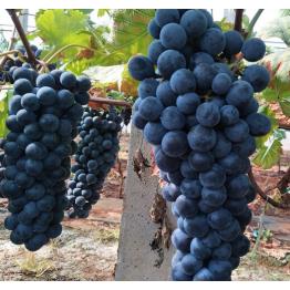云南无籽夏黑葡萄 新鲜水果 应季时令黑提子
